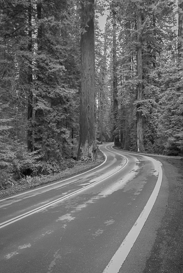 Giant Redwood Trees in Avenue of Giants in North California