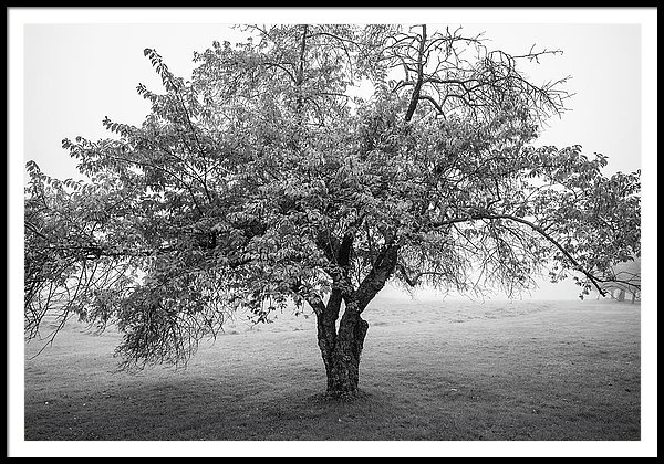 Maine Apple Tree In Fog