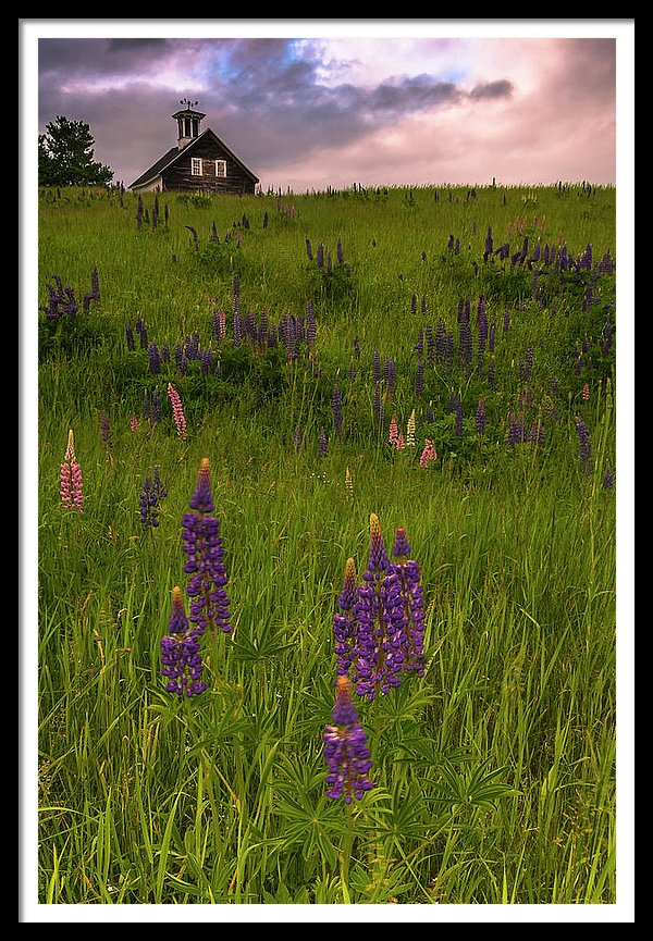 Maine Lupines And Home After Rain And Storm